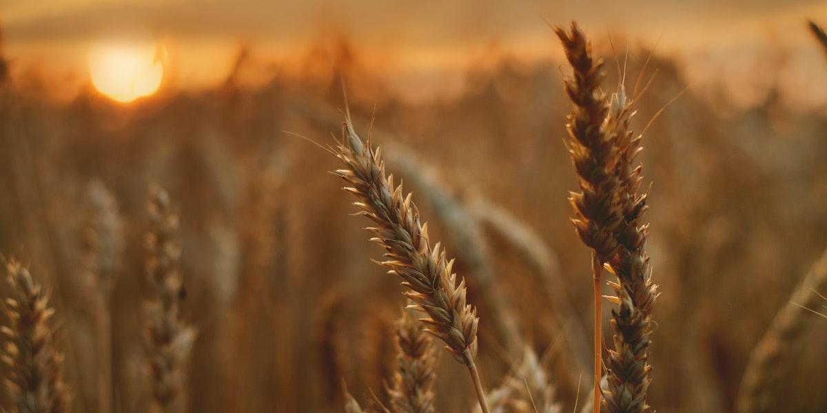 joseph dreams of sheaves of grain www.atozmomm.com
