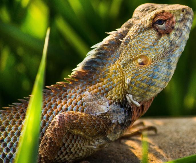 bearded dragon www.atozmomm.com