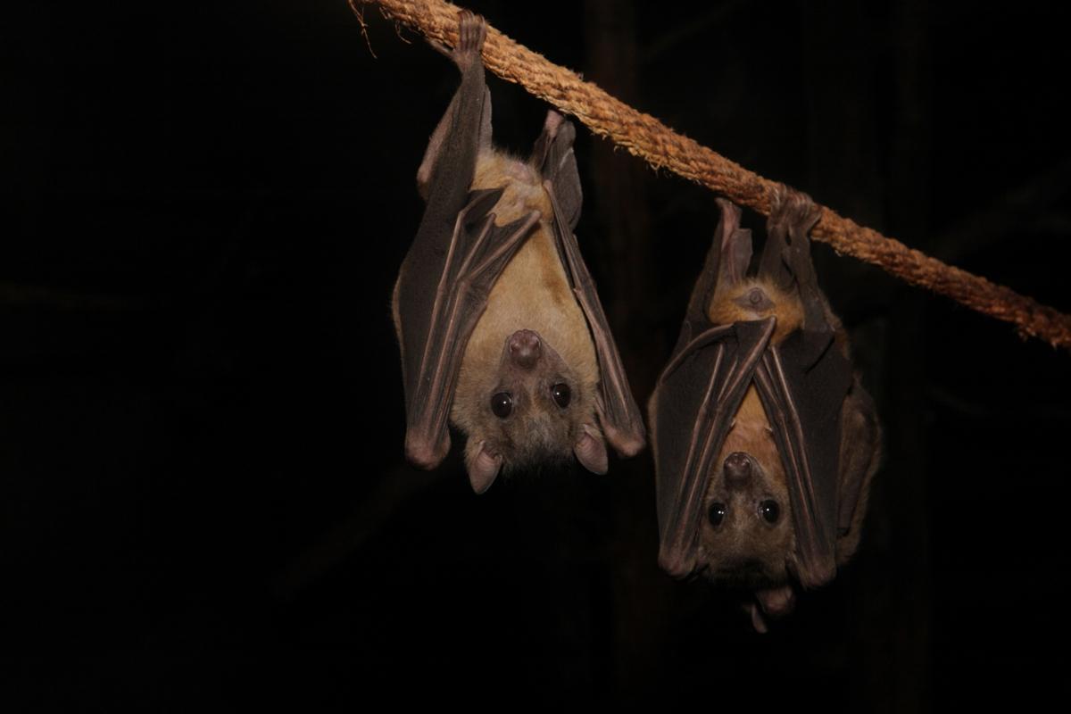 BSf study of Ruth 4 bats at night www.atozmomm.com