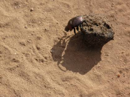 A dung beetle busy with his stash