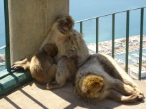 A local family of macaques, having a mid-day snooze