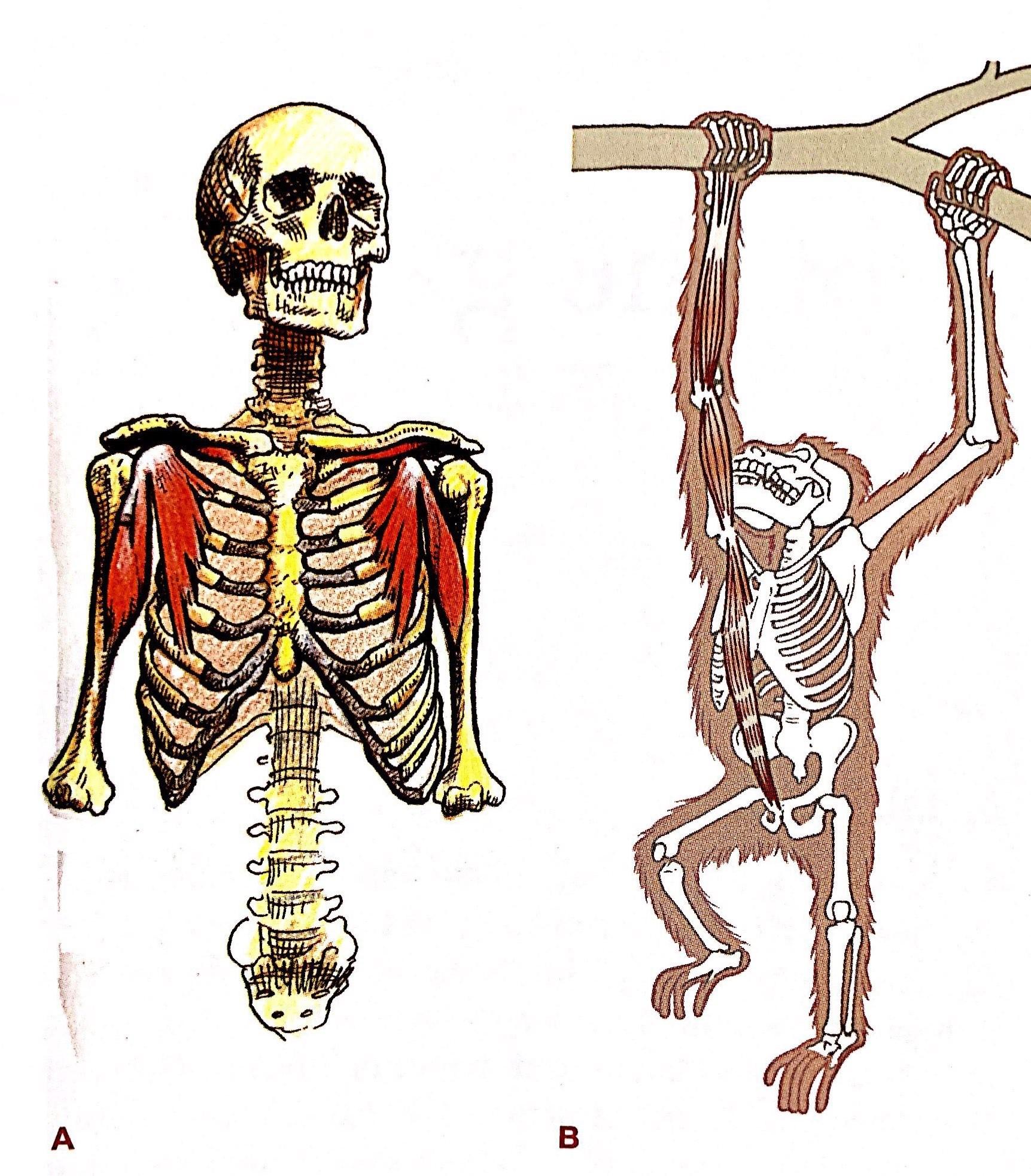 解剖列車系列(一) – 閱讀身體的新視野 – ATP Fitness Lab.