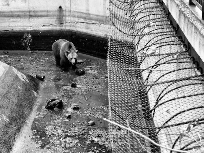 Walking bear - Pent animal project