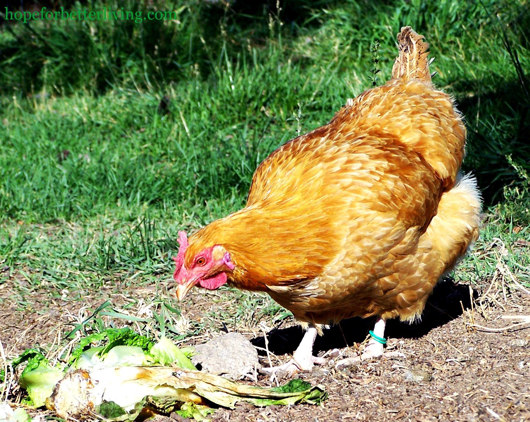 How to Clean and Use Old Hens