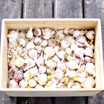 How to Keep Raw Garlic for Summer Eating