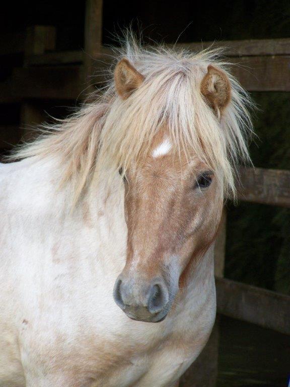 Miniature Horse (mare)