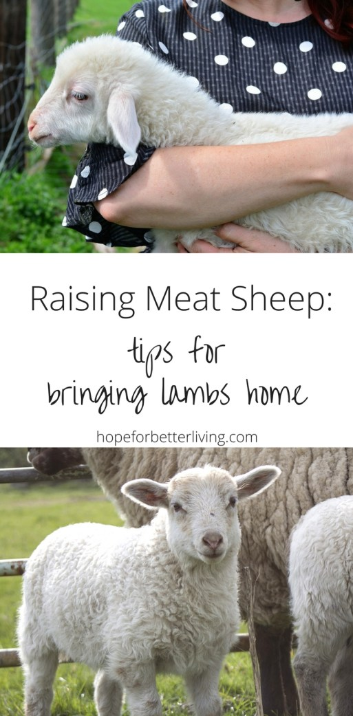 Prepare yourself for raising sheep meat by following these tips!