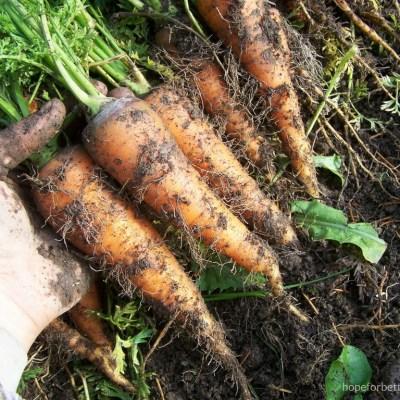 Storing Root Vegetables for Winter
