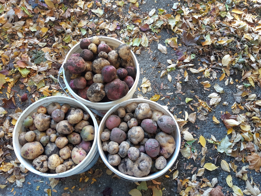 how we cure potatoes for winter storage