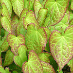 epimedium rubrum photo