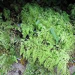 himalayan maidenhair fern photo