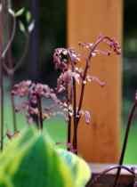 Eared Lady Fern – Athyrium otophorum 'Okanum'