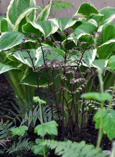 Korean Rock Fern, Polystichum tsus-simense and Eared Lady Fern, Athyrium otophorum