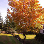 coral bark maple photo