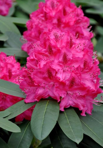 80s Rhododendron