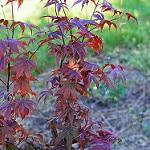emperor japanese maple photo