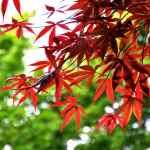 Emperor Japanese Maple