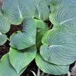 Hosta Blueberry Muffin