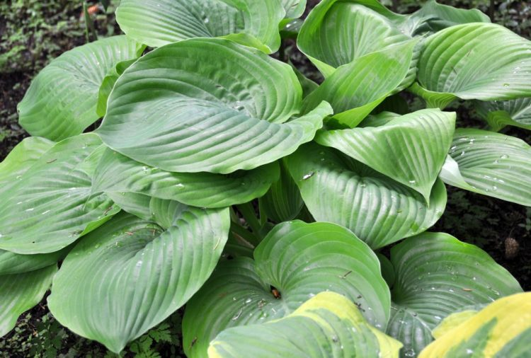 https://i0.wp.com/atreegarden.com/wp-content/uploads/2017/05/Hosta-Sum-and-Substance.jpg?fit=300%2C203