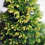 Treasure Island Lawson Cypress