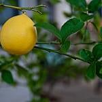 meyer lemon photo