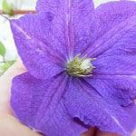 violet charm photo