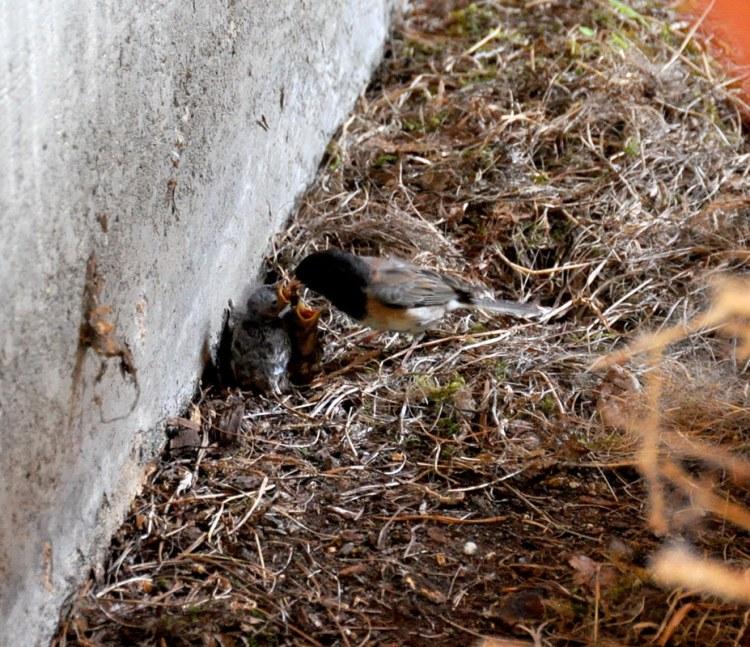 Dark-eyed Junco feeding its offspring