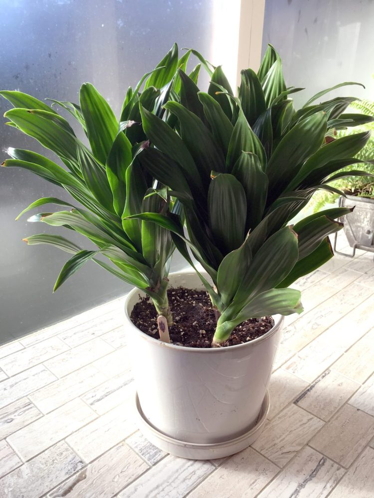 https://i0.wp.com/atreegarden.com/wp-content/uploads/2017/12/dracaena-compacta-jc.jpg?fit=225%2C300