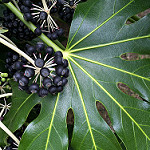 japanese fatsia photo