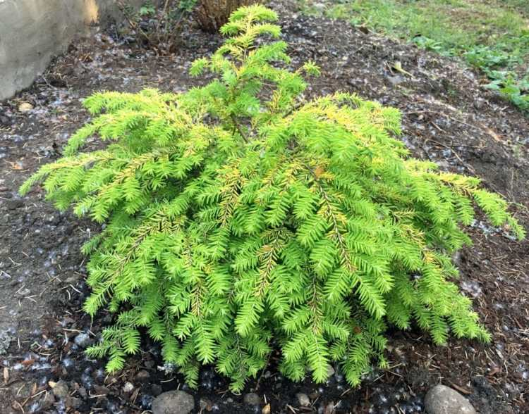 https://i0.wp.com/atreegarden.com/wp-content/uploads/2018/05/Golden-Duchess-Eastern-Hemlock.jpg?fit=300%2C235