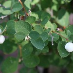 snowberry photo