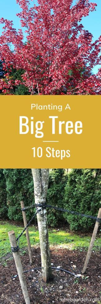 Planting A Big Tree 10 Steps