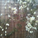avalanche clematis photo