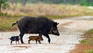 Feral pig & piglets (Photo: Craig O'Neal/Mindseye via cc license from Flickr)
