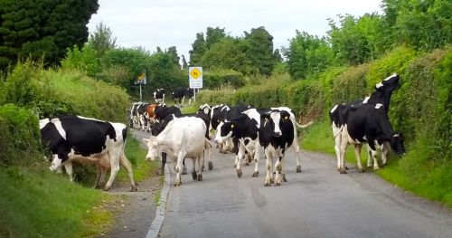 Rush hour, Irish style.