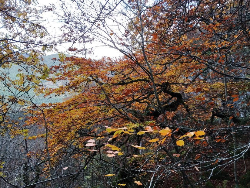 Hayedos en otoño