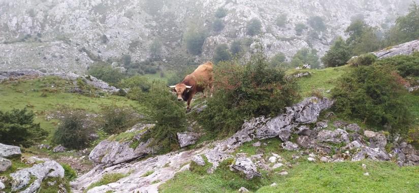 Vacas de picos