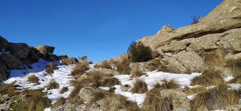 Cabras hispanicas