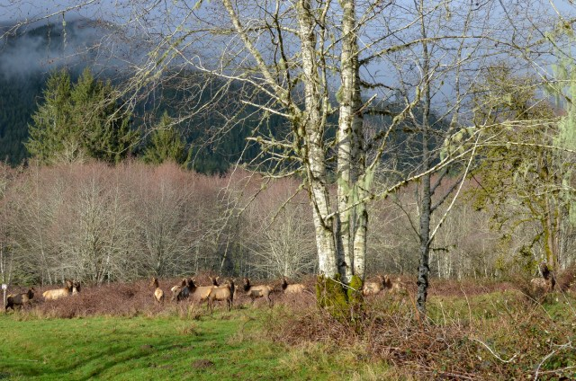 Grazing herd of elk amongst mossy trees and green grass in Hoh Rainforest