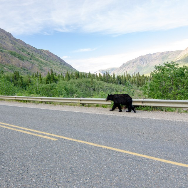 Black bear walking along the side of a highway, with mountains in the background