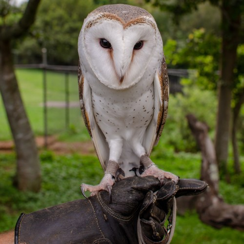 White and light brown barn owl perched on a handler's glove