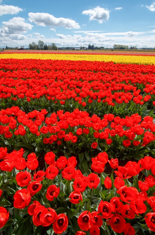 Rows and rows of vibrant red tulips, and a few yellow in the background
