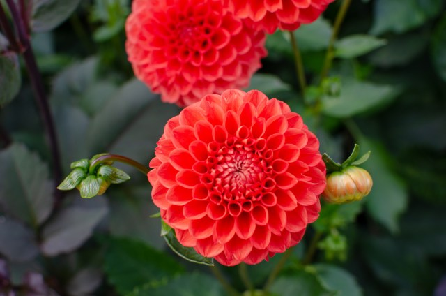 Bright red, perfectly geometrical dahlias blooming