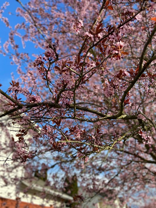 Cherry blossoms in focus on a tree