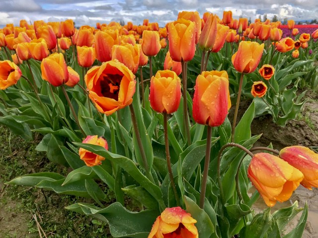 Orange tulips with a hint of orange-red, with raindrops on them