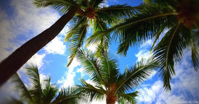 Photo looking up through coconut trees to the blue sky