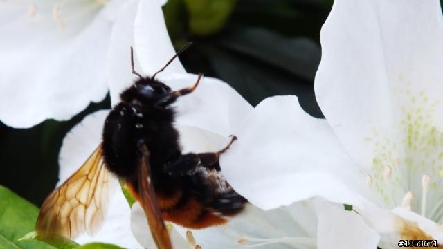 這隻肥蜂是什麼品種啊?沒見過這麼肥的蜜蜂! - Mobile01