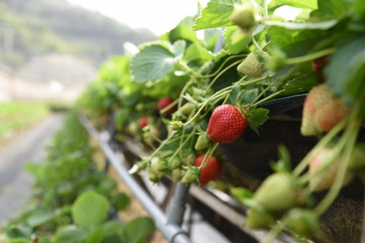 大湖草莓行&附近景點&拍照技巧