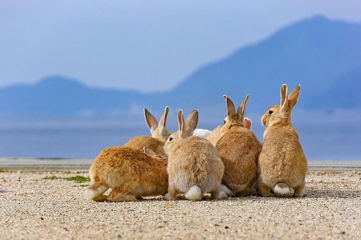 【廣島縣】「大久野島」的「兔島」是日本唯一的兔兔家園!【前篇】 - 悅遊日本 - Mobile01