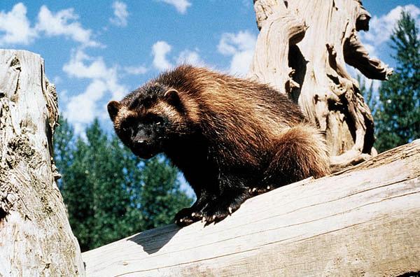 150年來才見到一次貂熊 卻慘遭人類射殺 | 國際 | 三立新聞網 SETN.COM
